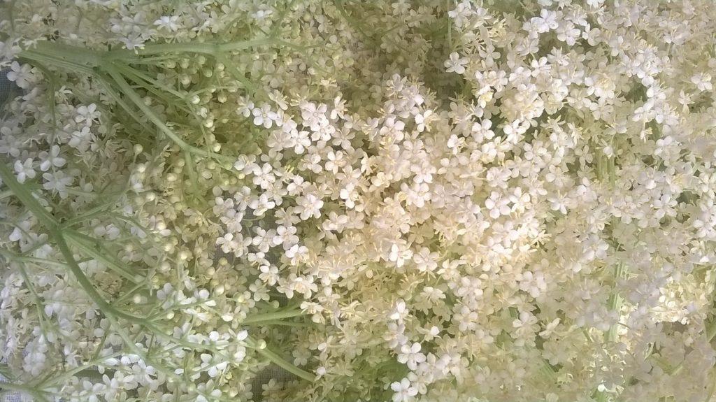 Holunderblüten für Holundermilch als Einschlafhilfe